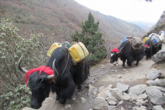 DavinaFarrer-FHD056_Yaks-coming-down-the-mountain-on-my-trip-to-Everest-8211-love-the-wigs